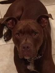 American Staffordshire Terrier-Chesapeake Bay Retriever Mix Dog For Adoption in Lawrenceville, NJ