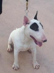 Bull Terrier Dog For Adoption in Tampa, FL, USA