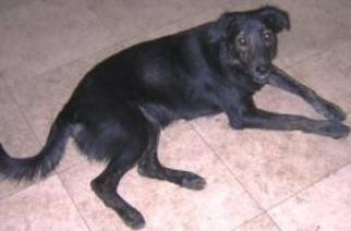 Irish Setter Mix Dog For Adoption in Miami, FL, USA