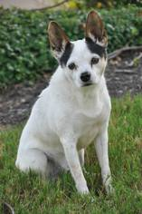 Rat Terrier Mix Dog For Adoption in Brighton, TN, USA