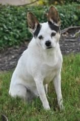 Rat Terrier Mix Dog For Adoption in Brighton, TN
