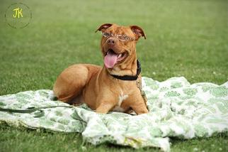 Chinese Shar-Pei-Staffordshire Bull Terrier Mix Dog For Adoption in Nashville, TN, USA