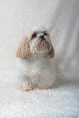 Shih Tzu Dog For Adoption in Weston, FL, USA