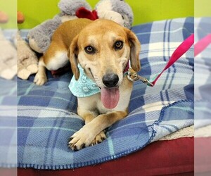 Beagle Dogs for adoption in Westminster, MD, USA