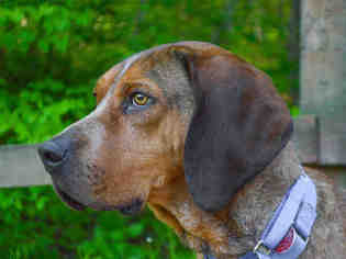 Bloodhound Mix dog