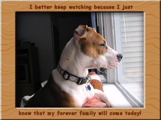 Bullboxer Pit Dog For Adoption in Arlington, VA