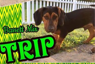 Basset Hound Mix dog