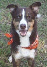Labrador Retriever-Siberian Husky Mix Dog For Adoption in Raleigh, NC