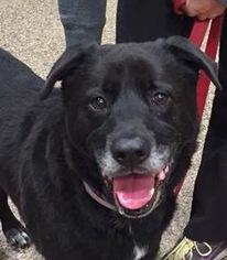 Labrador Retriever Mix Dog For Adoption in San Diego, CA, USA