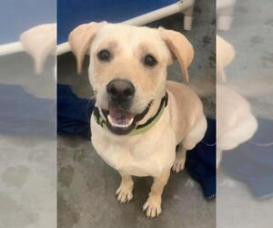 Labrador Retriever Dogs for adoption in Holland, MI, USA