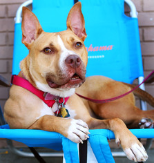 American Pit Bull Terrier Mix Dog For Adoption in Brooklyn, NY