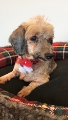 Dachshund Dog For Adoption in Weston, FL, USA