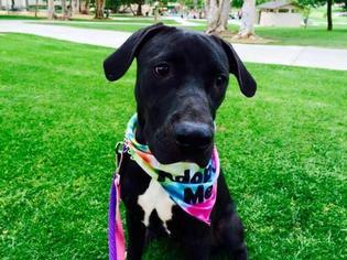 Great Dane-Labrador Retriever Mix Dog For Adoption in San Diego, CA
