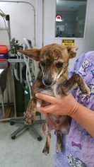 Chiweenie Dog For Adoption in Stonyford, RI, USA