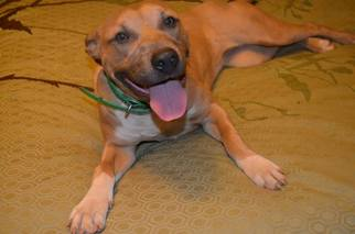 American Pit Bull Terrier Dog For Adoption in Albemarle, NC