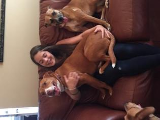 American Staffordshire Terrier-Labrador Retriever Mix Dog For Adoption in Huntsville, AL