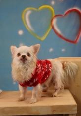 Chihuahua Mix Dog For Adoption in Garland, TX, USA