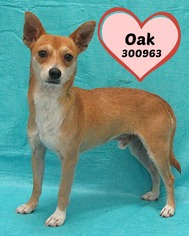 Chihuahua Dog For Adoption in San Antonio, TX