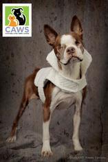 Boston Terrier Dog For Adoption in Salt Lake City, UT, USA