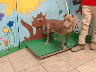 Vizsla Mix Dog For Adoption in Houston, TX, USA