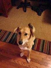 Labrador Retriever Mix Dog For Adoption in Leonardtown, MD