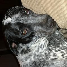American Bulldog Mix Dog For Adoption in Houston, TX, USA