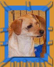 Chihuahua Dog For Adoption in Silverlake, WA, USA