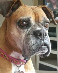 Boxer Dog For Adoption in Hurst, TX, USA