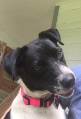 Border Collie Mix Dog For Adoption in Tomball, TX