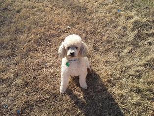 Poodle (Miniature) Dog For Adoption in Philadelphia, PA