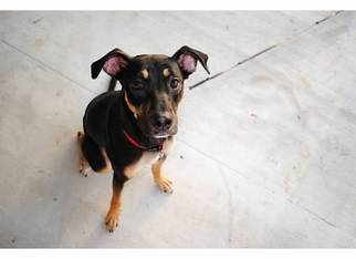 Labrador Retriever Mix Dog For Adoption in Baton Rouge, LA