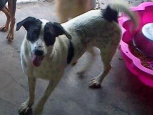 Pointer Mix Dog For Adoption in Pembroke, GA, USA