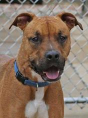 Boxer Mix Dog For Adoption in Foristell, MO, USA