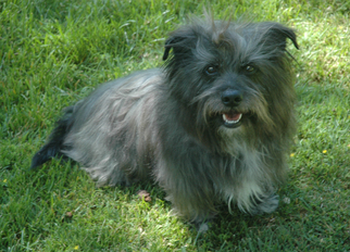 Small Skye Terrier