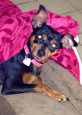 Miniature Pinscher Dog For Adoption in Apple Valley, CA, USA