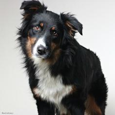 Australian Shepherd Dog For Adoption in Eden Prairie, MN, USA