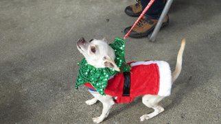 Chihuahua Dog For Adoption in Napa, CA, USA