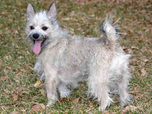 View Ad: Cairn Terrier Mix Dog for Adoption near Utah, West Valley