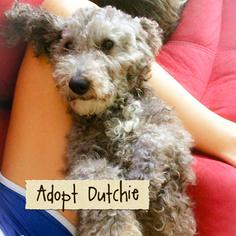 Poodle (Miniature) Dog For Adoption in Rochester, NY, USA