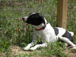 Pointer Mix Dog For Adoption in San Antonio, TX, USA