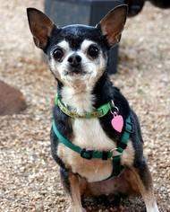 Chihuahua Dog For Adoption in Dallas, TX, USA