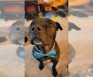American Pit Bull Terrier-Unknown Mix Dogs for adoption in Brooklyn Center, MN, USA
