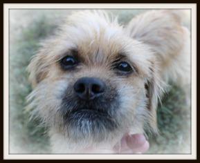 View Ad Border Terrier Shih Tzu Mix Dog For Adoption Texas