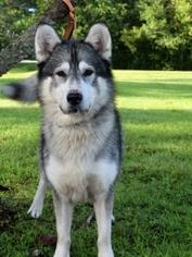 Alaskan Malamute Dog For Adoption near 33478, Jupiter, FL, USA