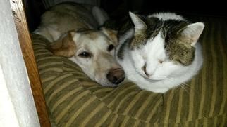 Labrador Retriever Dog For Adoption in Machesney Park, IL