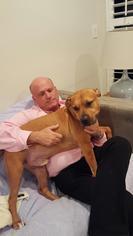American Bulldog Dog For Adoption in Boca Raton, FL