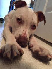 Bulldog-Pointer Mix Dog For Adoption in Decatur, GA