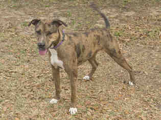 Catahoula Leopard Dog For Adoption In Tavares Fl Usa