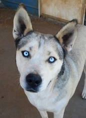 View Ad American Pit Bull Terrier Husky Mix Dog For Adoption Near