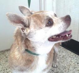 Chug Dog For Adoption in Rockaway, NJ, USA